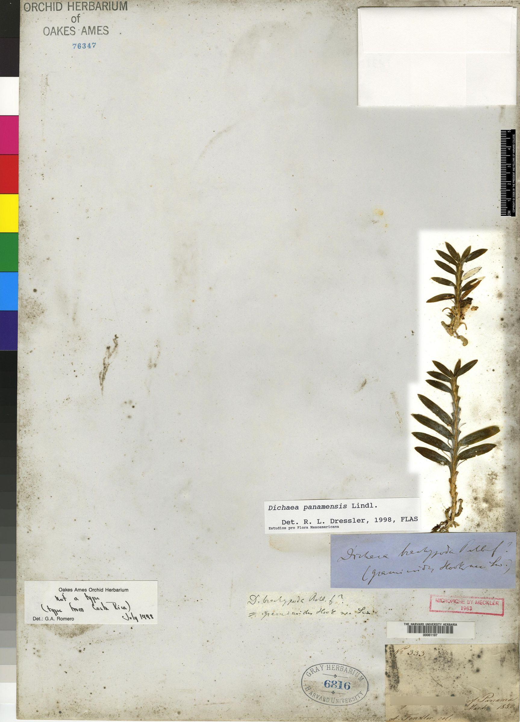 Dichaea brachypoda image