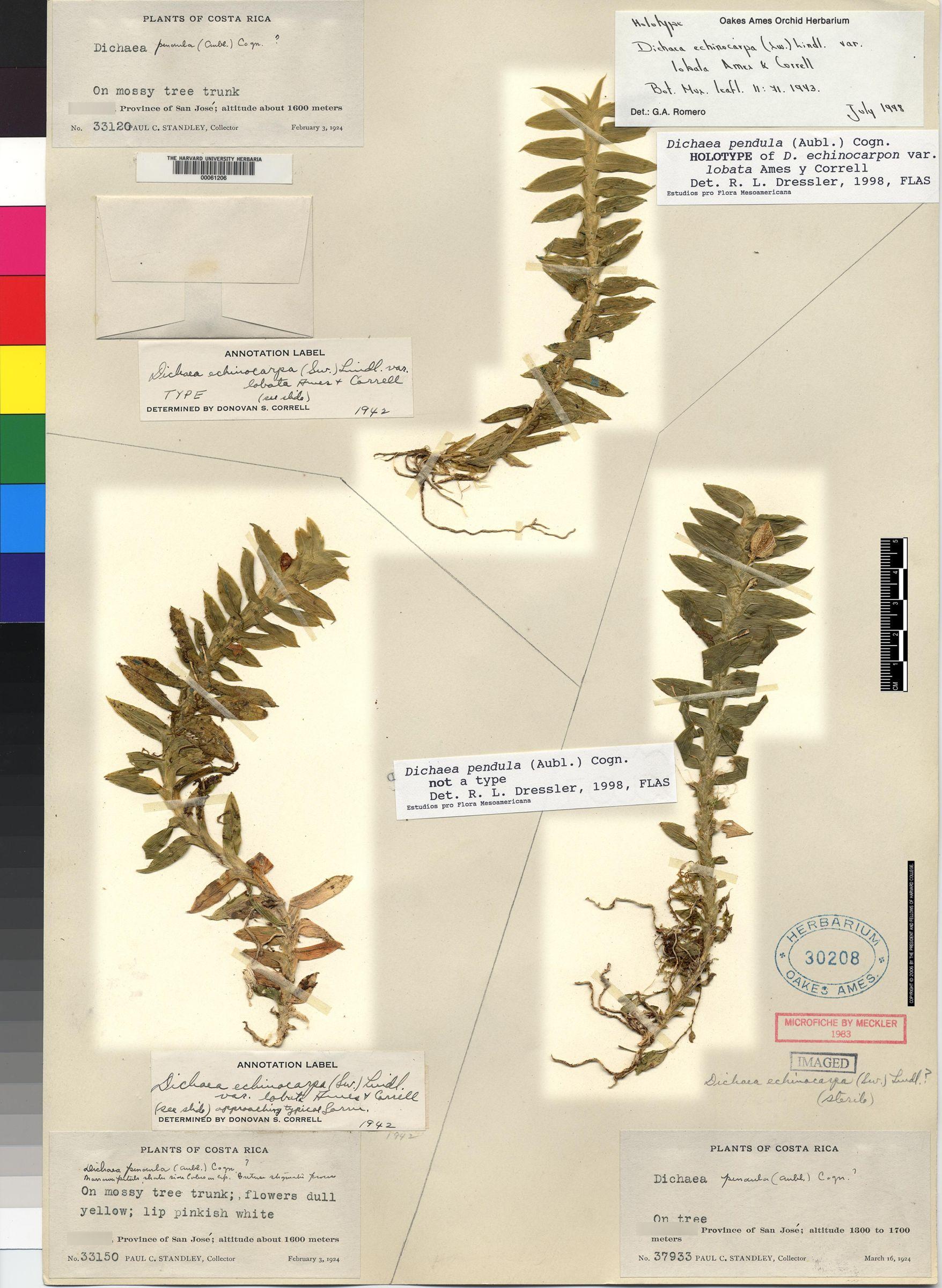 Dichaea pendula image