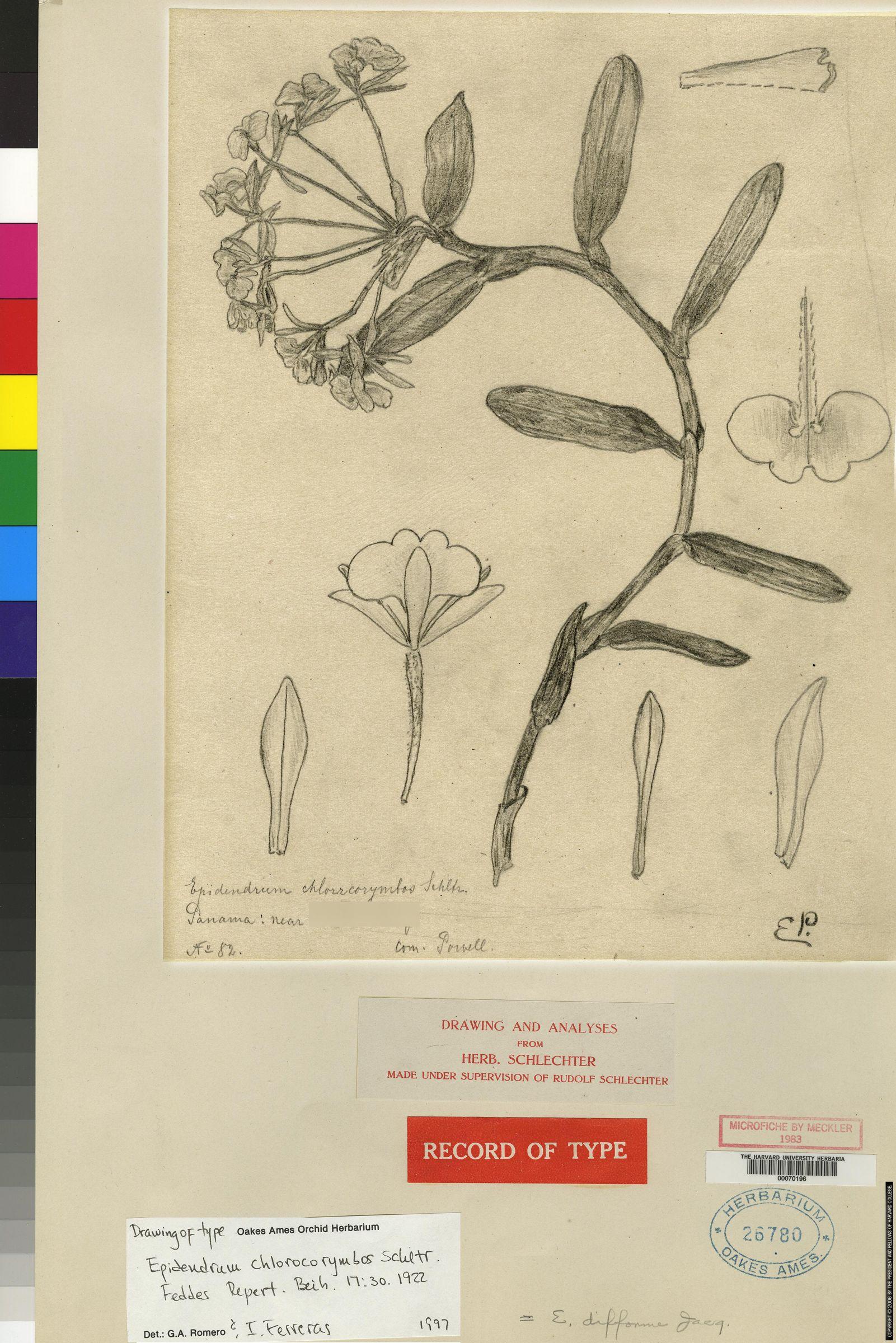 Epidendrum chlorocorymbos image