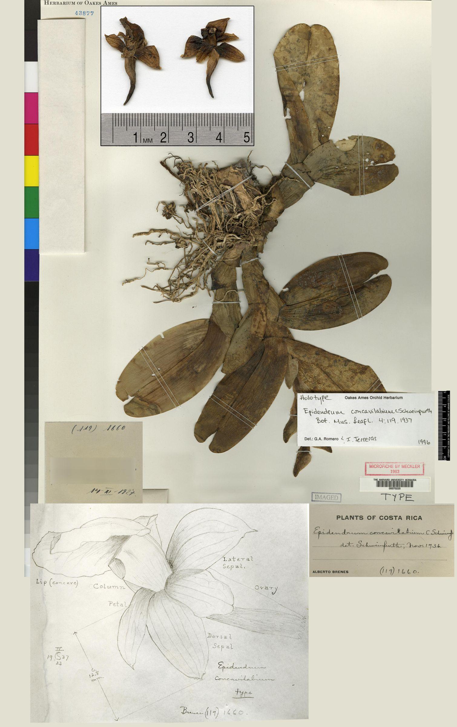 Epidendrum concavilabium image