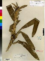 Maxillaria bradeorum image