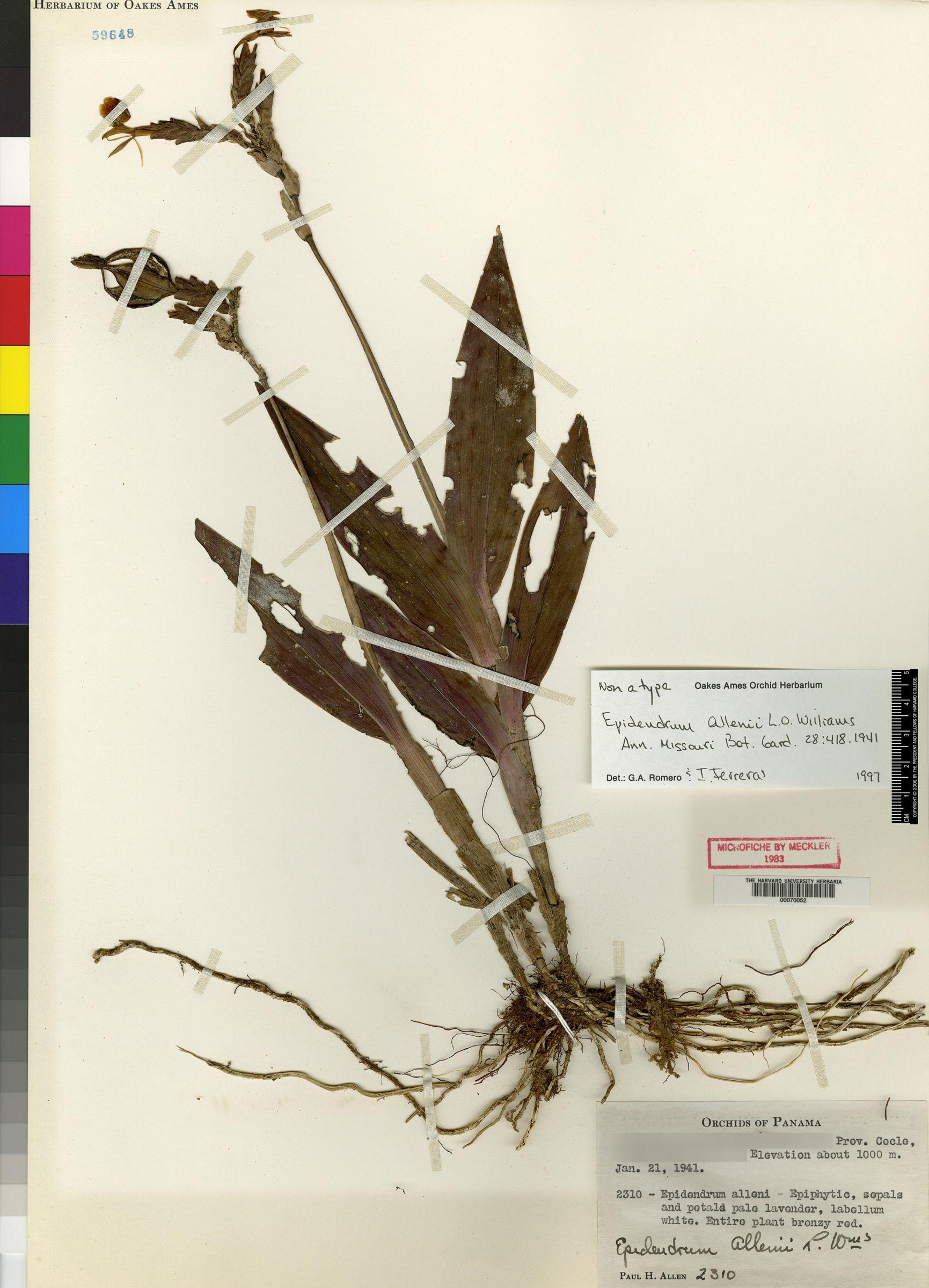 Epidendrum allenii image