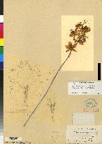 Cattleya tigrina image