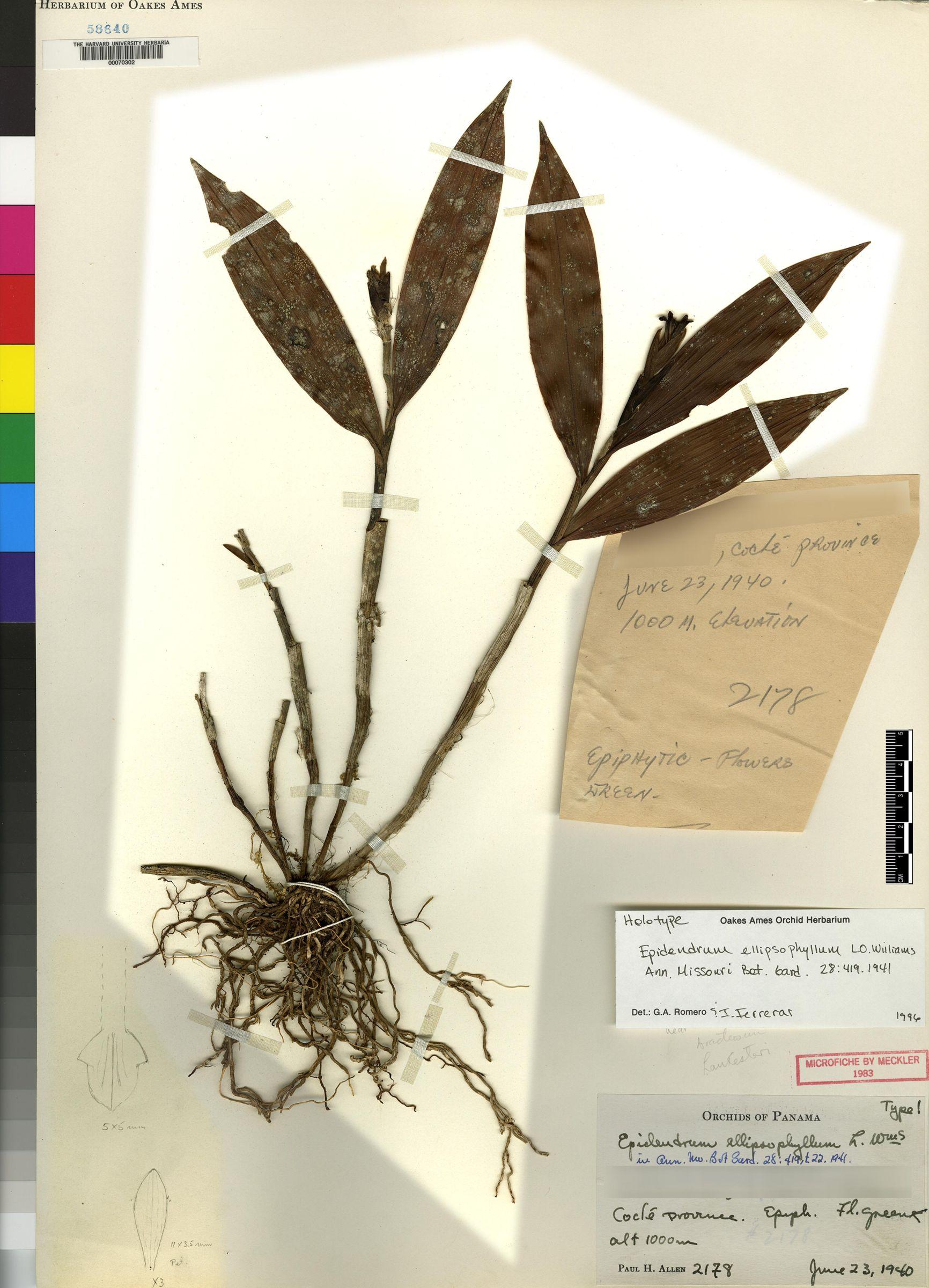 Epidendrum ellipsophyllum image