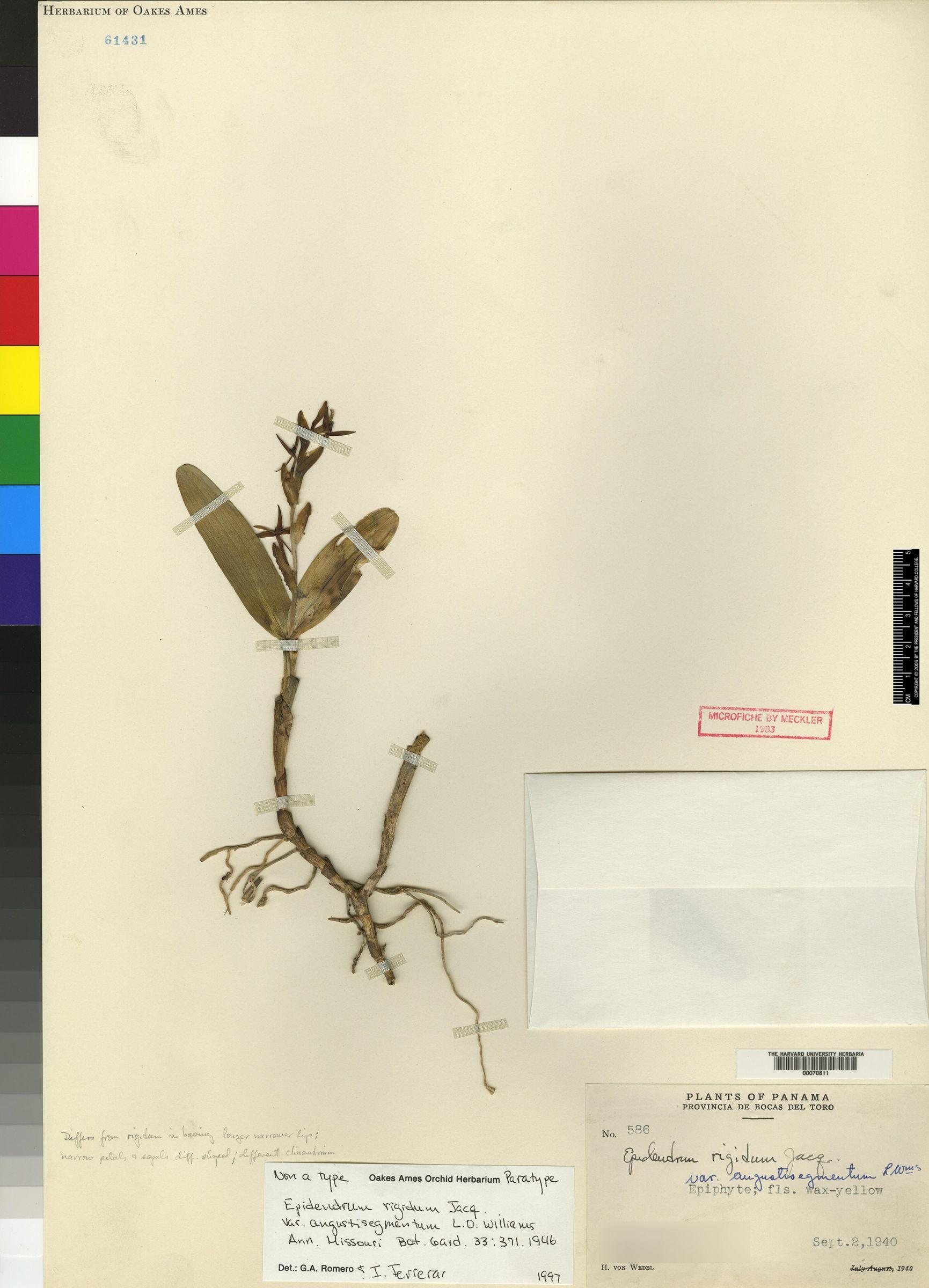 Epidendrum angustisegmentum image