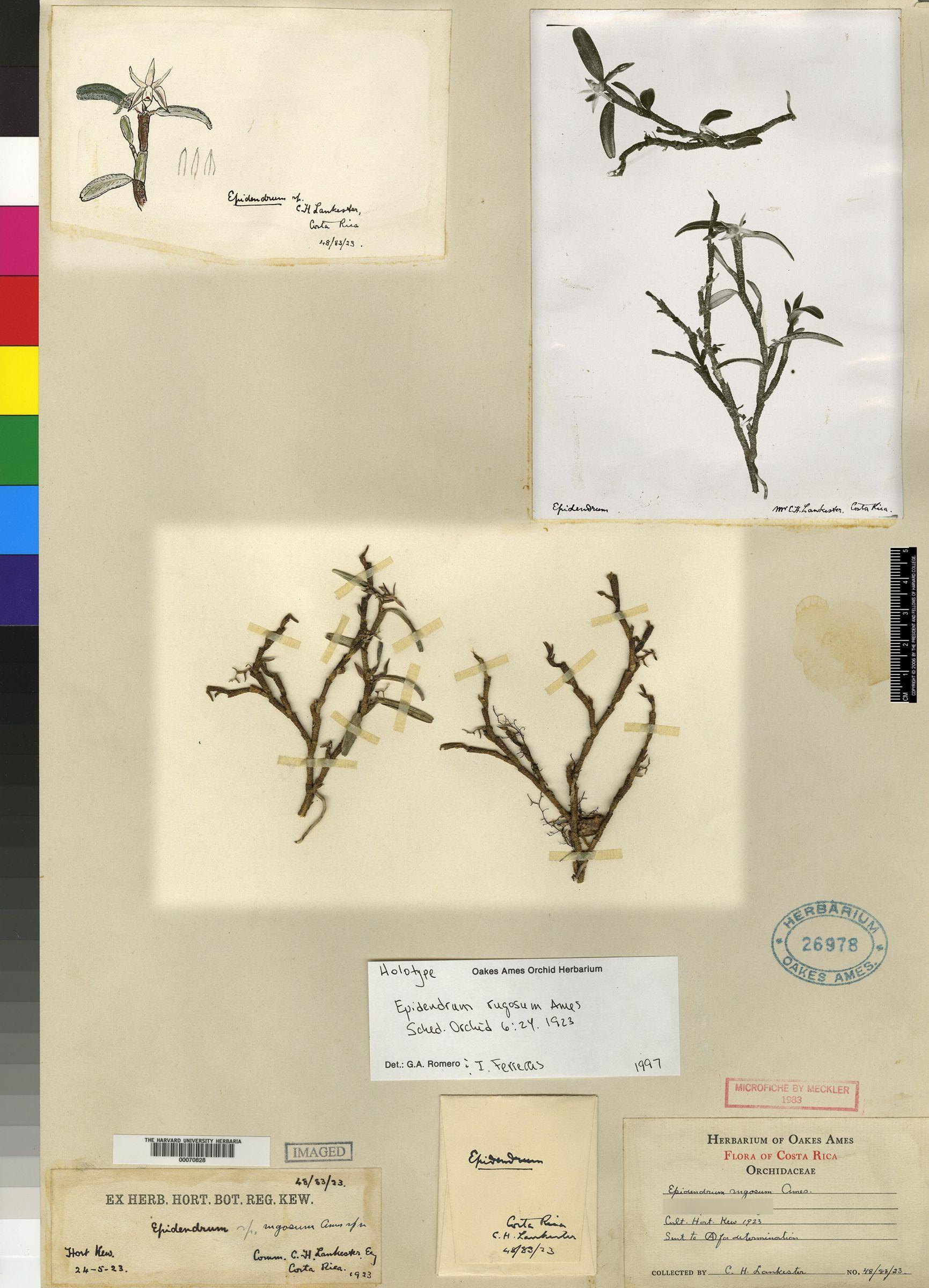 Epidendrum rugosum image