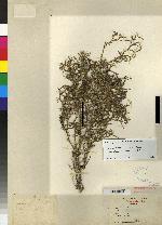 Epidendrum sanchoi image