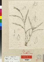 Epidendrum powellii image