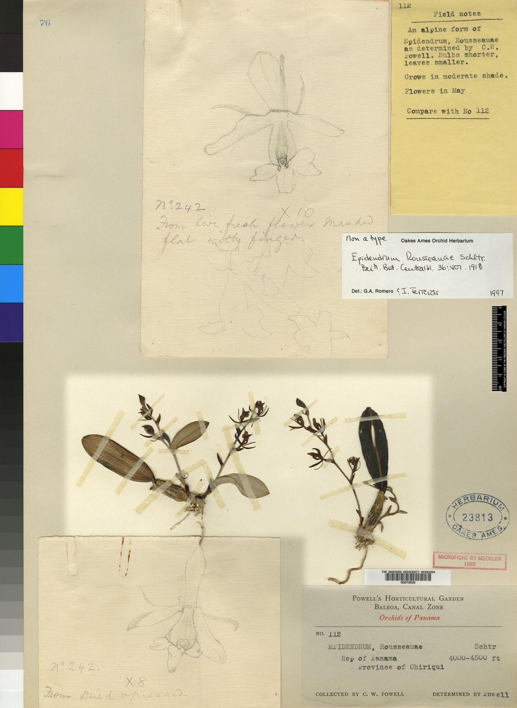 Epidendrum rousseauae image