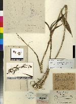 Epidendrum subnutans image