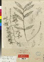 Epidendrum coronatum image