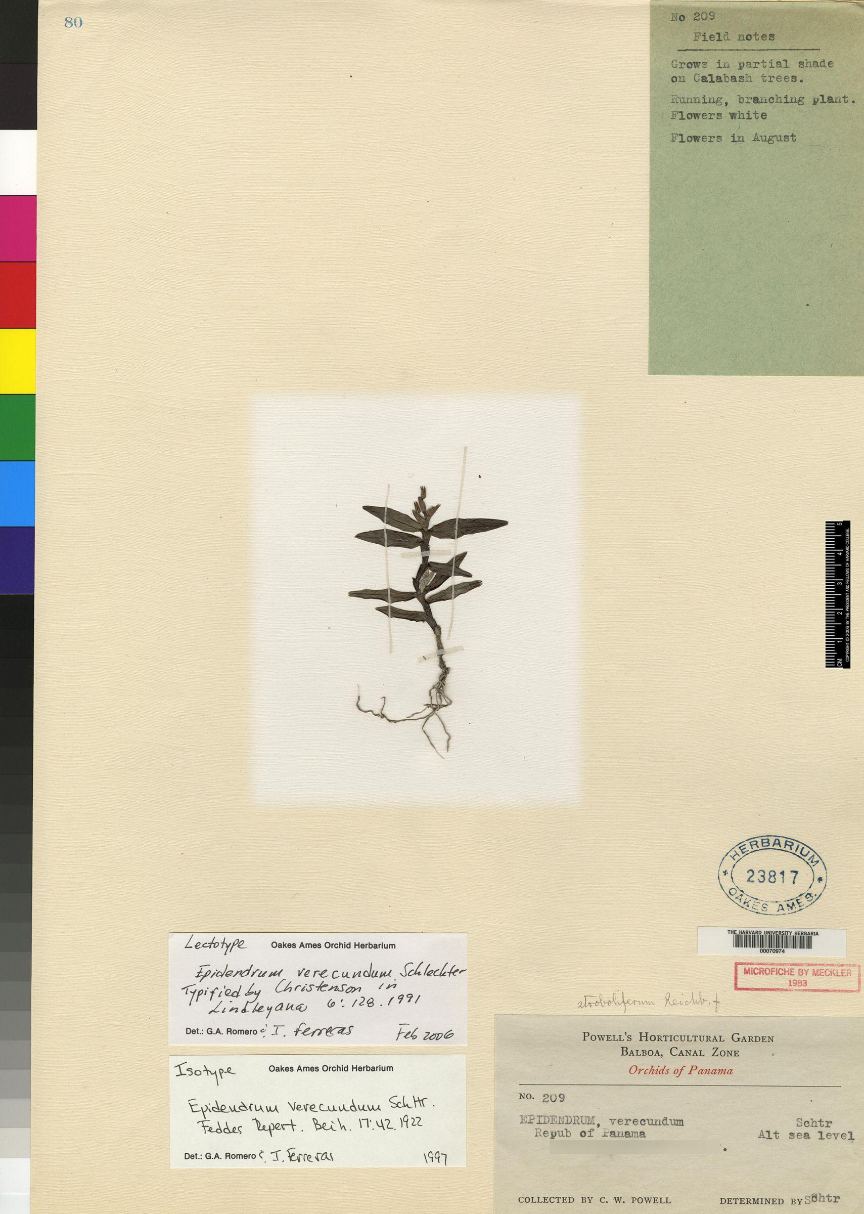 Epidendrum strobiliferum image