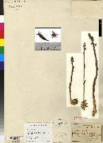 Corallorhiza involuta image