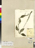 Erythrodes killipii image