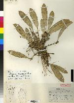 Zootrophion hypodiscus image