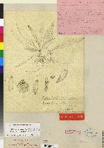 Kefersteinia costaricensis image