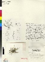 Image of Lepanthopsis stellaris