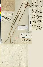 Bletia campanulata image