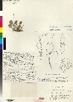 Image of Lepanthopsis anthoctenium