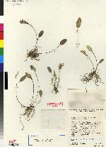 Image of Lepanthopsis micheliae