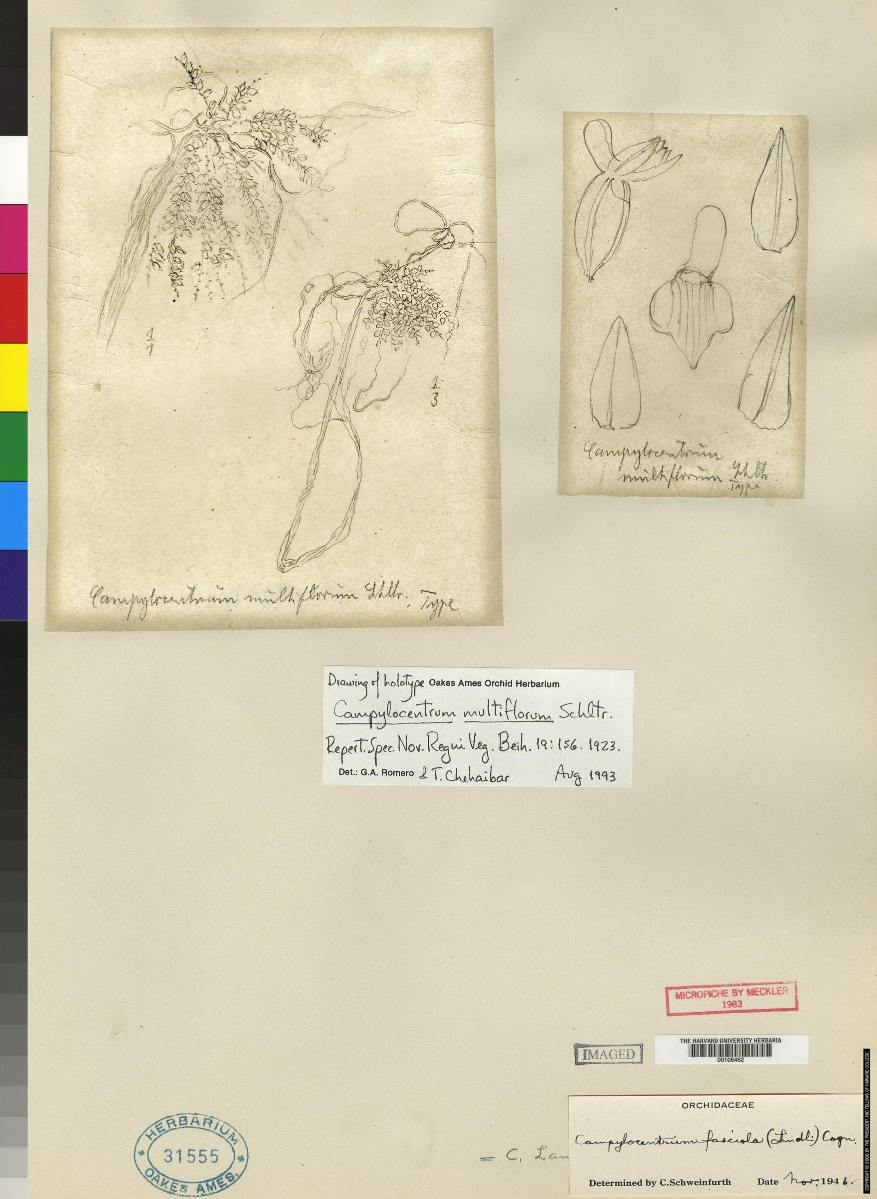 Campylocentrum fasciola image