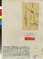 Lepanthes maxonii image