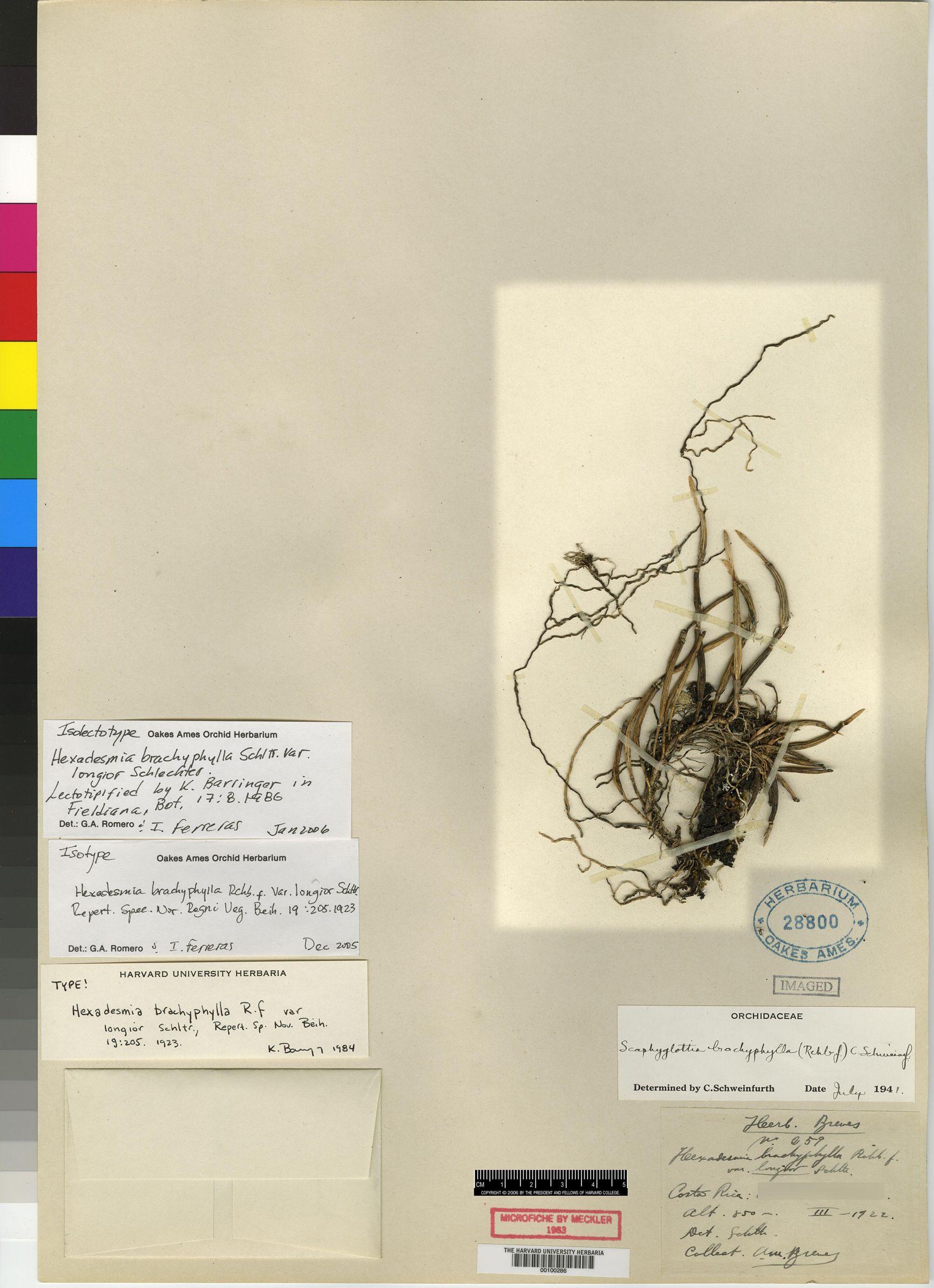 Scaphyglottis fusiformis image
