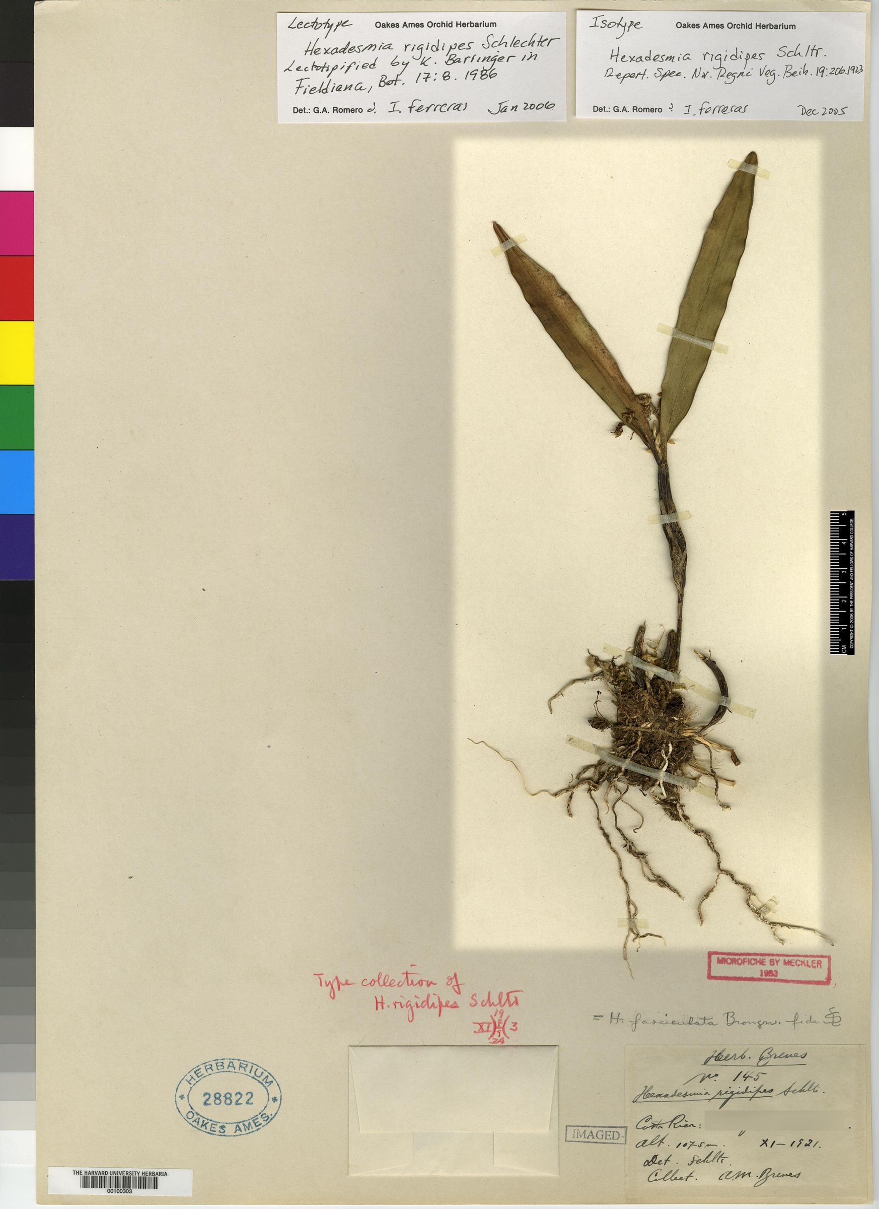 Scaphyglottis lindeniana image