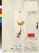 Image of Malaxis greenwoodiana