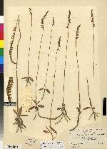 Spiranthes eatonii image