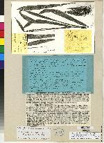 Chondroscaphe bicolor image