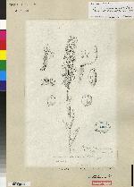 Platanthera angustata image