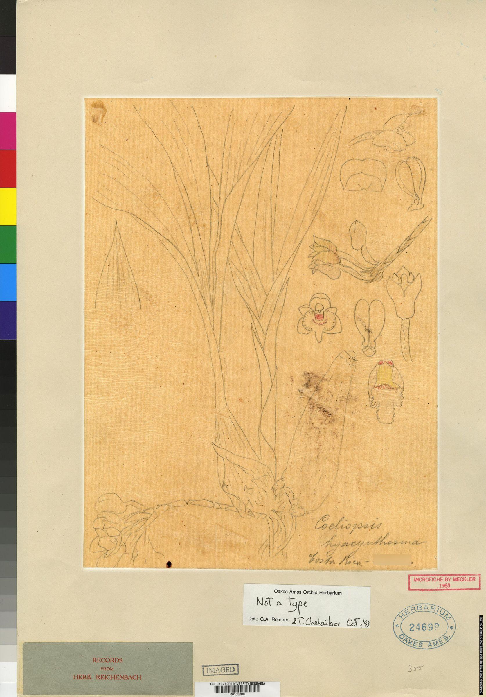 Coeliopsis hyacinthosma image