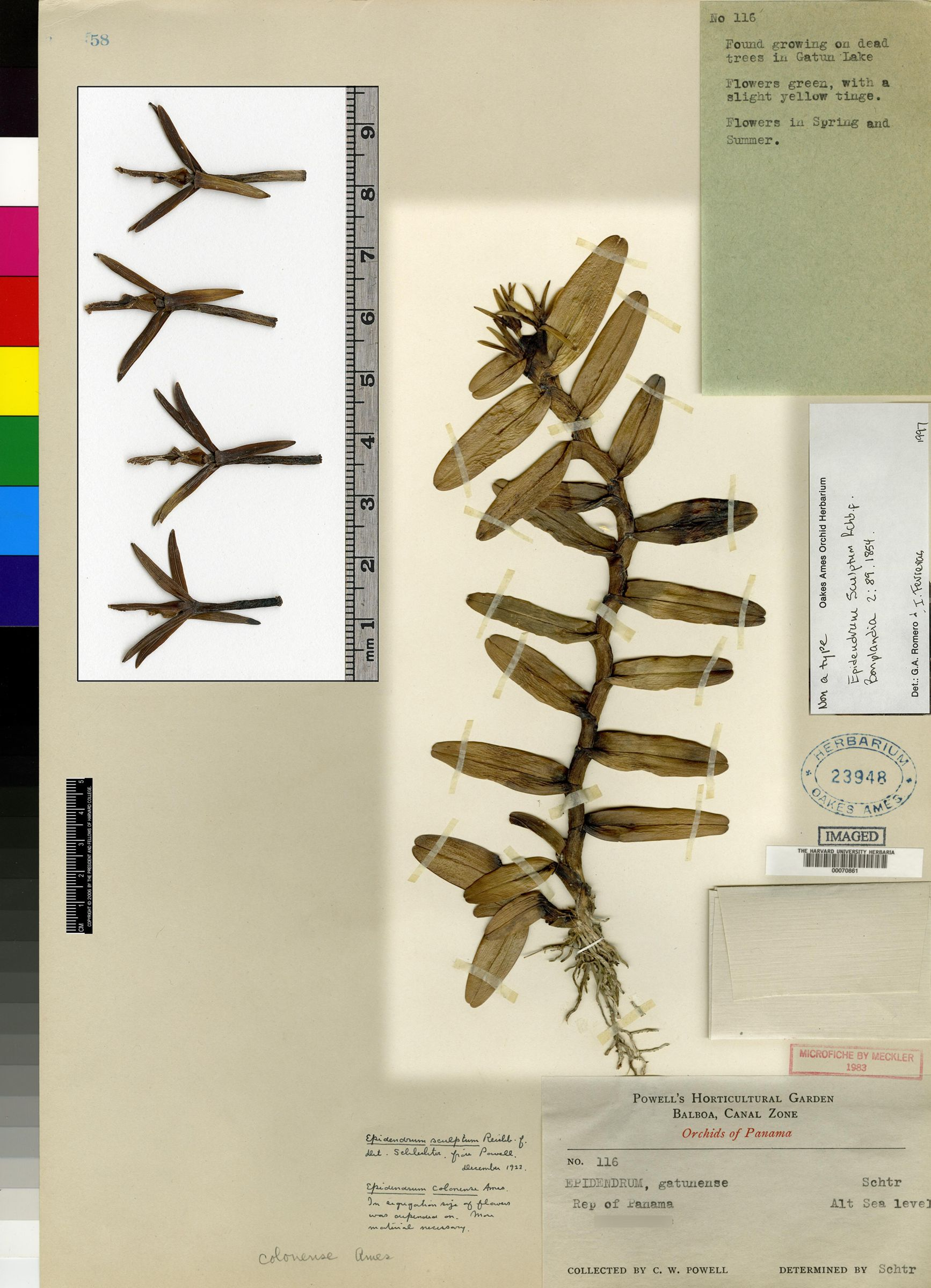 Epidendrum sculptum image