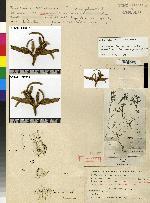 Epidendrum trachythece image
