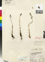 Image of Corallorhiza williamsii