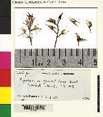 Epidendrum stangeanum image
