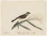 L'Ortolan de Roseaux femelle de Buffon . The reed Sparrow, femelle of Albin. Near Nantes, France,  Digital Object