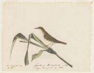Fauvette de Roseaux femelle de Buffon. Sedge bird, famelle of Albin. Near Nantes, France,  Digital Object