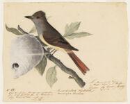 Great Crested Fly Catcher. Mucicapa Crinlita [?]. La Moucherolle de Virginie a Huppe Verte de Buffon. Crested fly catcher; Catcfly [?] N.p.,  Digital Object