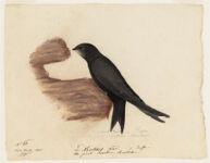 Le Martinet Noir de Buffon. the great Swallow Marttettes. Near Nantes, France,  Digital Object