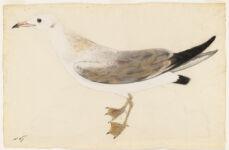 [Black-headed gull] N.p.,  Digital Object