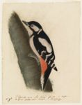 L'Epeiche ou le Pic Narie femelle de Buffon. The Great Spotted Wood Pecker - British Zoology.N.p.,  Digital Object