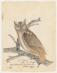 Le Scoss[?] ou Petite Duc Buffon. Little horned Owl. The short heared owl British Zoology. N.p.,  Digital Object