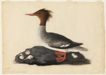 Harle, femelle, commonly called Shell Duck. New York,  Digital Object