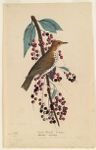 Wood thrush. A. Wilson. Turdus Melodus. La Grivette d'Amerique de Buffon. Ceracus virginianus. Mill Grove, Pennsylvania,  Digital Object