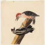 [Red-bellied woodpecker and sapsucker] N.p.,  Digital Object