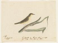 La fauvette de Roseaux Male de Buffon. the Sedge Bird Male of Albin. Near Nantes, France,  Digital Object