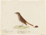 Le Rossignol de Buffon. the Nightingale. Near Nantes, France,  Digital Object