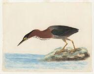 [Green heron] N.p.,  Digital Object